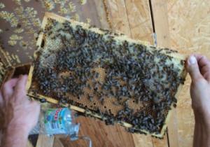 Brutwabe mit Honigkranz